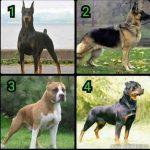 Hvilken vagthund ville du vælge? - 1, 2, 3 eller 4?